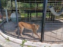 Lynx arpentant Photos stock