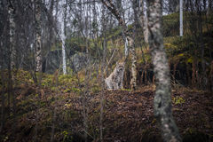 Lynx in the autumn forest. Portrait of the wild cat in the natural environment. Eurasian Lynx is sitting between the trees on the ground in the Arctic Norway Royalty Free Stock Photos