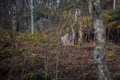 Lynx in the autumn forest. Portrait of the wild cat in the natural environment. Eurasian Lynx is sitting between the trees on the ground in the Arctic Norway Stock Photo