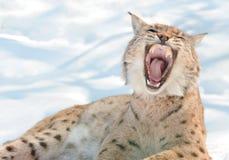 Lynx avec les crocs dénudés Image stock