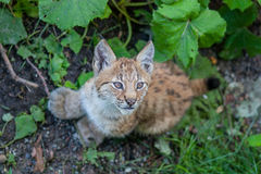 Lynx. Baby lynx with oversized furry paws Royalty Free Stock Photography