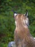 Lynx Back. Head of european lynx from back view Stock Photography