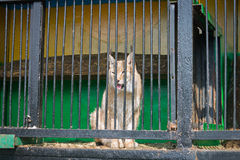 Lynx basking in the sun sitting in the cell of the mobile zoo. Stock Photos