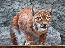 Lynx. Beautiful photo of graceful big cat Lynx Royalty Free Stock Photos