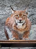 Lynx. Beautiful photo of graceful big cat Lynx Stock Image
