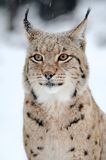 Lynx. Beautiful wild lynx in winter day Royalty Free Stock Image