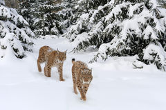 Lynx. Beautiful Young lynx in winter forest Stock Photography