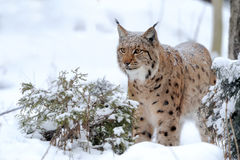 Lynx. Beautiful Young lynx in winter forest Royalty Free Stock Images