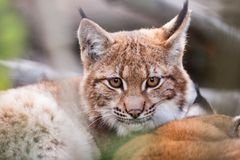 Lynx behind the branches Royalty Free Stock Images
