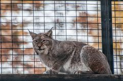 Lynx big cat smart animal. In the cage Royalty Free Stock Photo