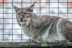 Lynx big cat smart animal. In the cage Stock Photography