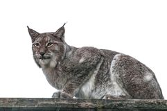 Lynx big cat smart animal. In the cage Royalty Free Stock Image