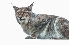 Lynx big cat smart animal. In the cage Stock Images