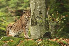 Lynx is the biggest cat beast of Europe. Animal in nature. Autumn colors in the photo. Beast in the photo Royalty Free Stock Photography