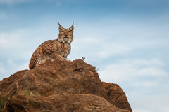 Lynx bij vrijheid Stock Fotografie