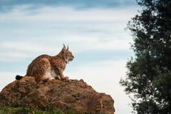Lynx bij vrijheid Stock Afbeeldingen