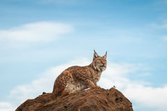 Lynx bij vrijheid Stock Foto's