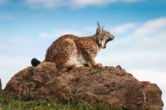 Lynx bij vrijheid Royalty-vrije Stock Afbeelding