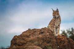 Lynx bij vrijheid Royalty-vrije Stock Foto's
