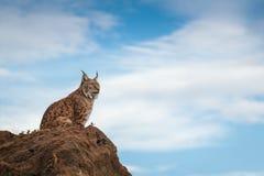 Lynx bij vrijheid Stock Foto
