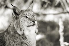 Lynx in black and white Royalty Free Stock Photo