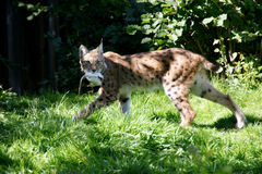 Lynx/Bobcat Royalty Free Stock Images