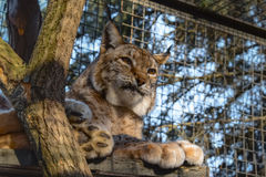 Lynx. Bobcat. Wildcat. Wild cat (lynx) resting on the tree. Close-up portrait Royalty Free Stock Images