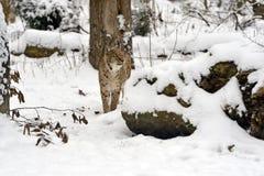 Lynx Stock Image