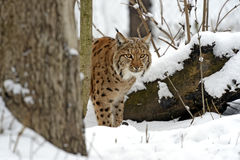 Lynx. Bobcat winter in their natural habitat. Ukraine Royalty Free Stock Image