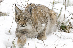 A lynx in the Bohemian Forest Stock Images