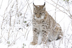 A lynx in the Bohemian Forest Stock Photography
