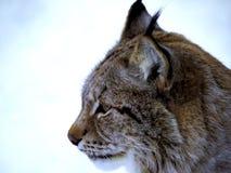 Lynx boreaal portret, Noorwegen stock fotografie