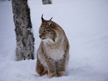 Lynx boreal, Narvik, Norway stock image