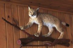 Lynx bourré Photographie stock libre de droits