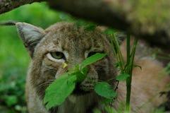 Lynx caché Photographie stock libre de droits