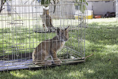 Lynx  in cage Stock Images