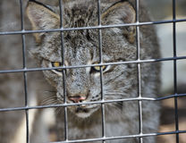 Lynx In Cage Stock Photos