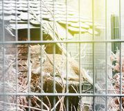 Lynx in cage Stock Photography