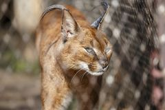 Lynx in a cage. Concept: keeping wild animals in captivity stock photo