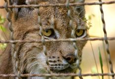 Looking for freedom. Lynx in a cage with an intense and penetrating look behind the bars. Claiming for freedom. Big yellow eyes that should be looking another Royalty Free Stock Photography