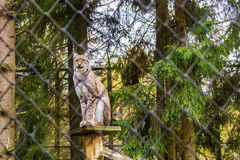 Lynx in a cage Royalty Free Stock Photos