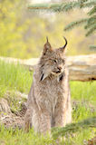 Lynx canadensis - looking right. A Canadian Lynx (Lynx canadensis) with prominent ear tufts looks camera right. Focus=eyes. 12MP camera, recorded at a game farm Stock Photography