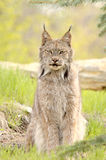 Lynx canadensis, sitting. A Canadian Lynx (Lynx canadensis) with prominent ear tufts looks straight at the camera. Focus=eyes. 12MP camera, recorded at a game Stock Images