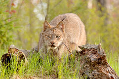 Lynx canadensis stalking. A Canadian Lynx (Lynx canadensis) with prominent ear tufts in a stalking pose. 12MP camera, taken at a game farm. Focus = the face Royalty Free Stock Images
