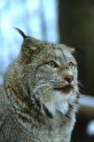 Lynx canadien Image libre de droits