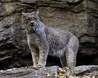 Lynx canadien Images libres de droits