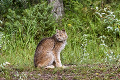 Lynx canadien Images stock