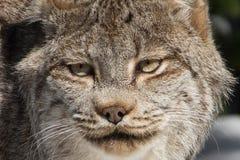 Lynx canadien Photo libre de droits