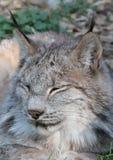 Lynx canadien photos libres de droits