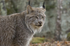 Lynx canadien Photo libre de droits